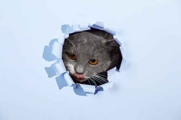 Grijze mooie schattige kat gluurt uit een gat in blauw papier. kopieer ruimte.