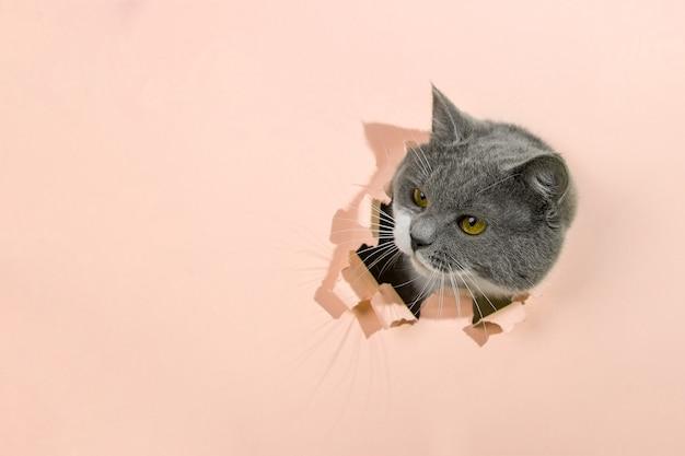 Grijze mooie schattige kat gluurt uit een gat in geel papier. kopieer ruimte.