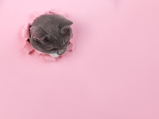 Grijze mooie schattige kat gluurt uit een gat in roze papier. kopieer ruimte.