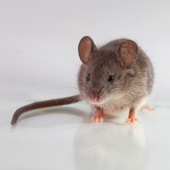 Grijze muis, van dichtbij geschoten tegen een lichte achtergrond