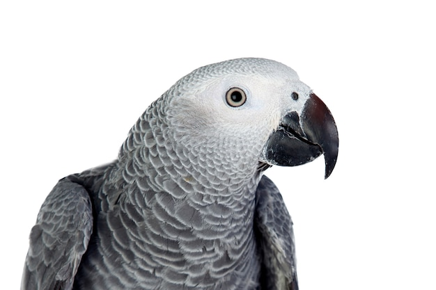 Grijze papegaai voor witte achtergrond