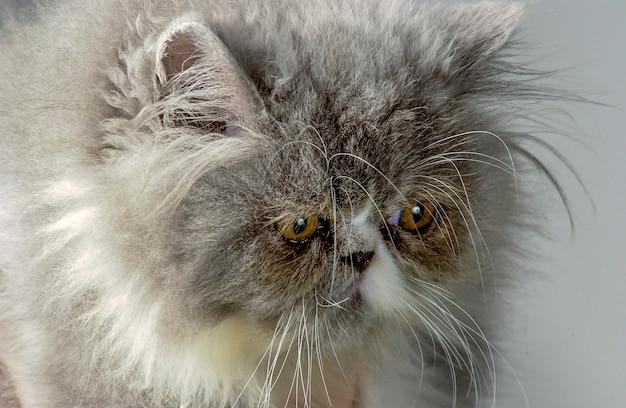 Grijze perzische kat in close-up