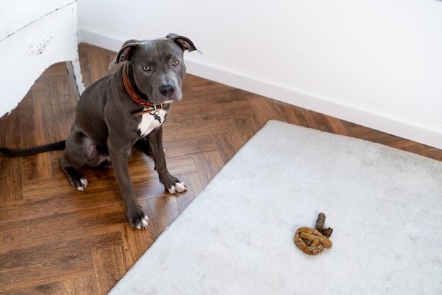 Grijze pitbull-hond, poept op de vloer in de kamer, berouwvolle schuldige hond met poep uitgescheiden