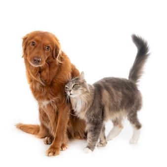 Grijze pluizige huiskat met lang haar die zijn genegenheid toont aan een bruine hond met lang haar