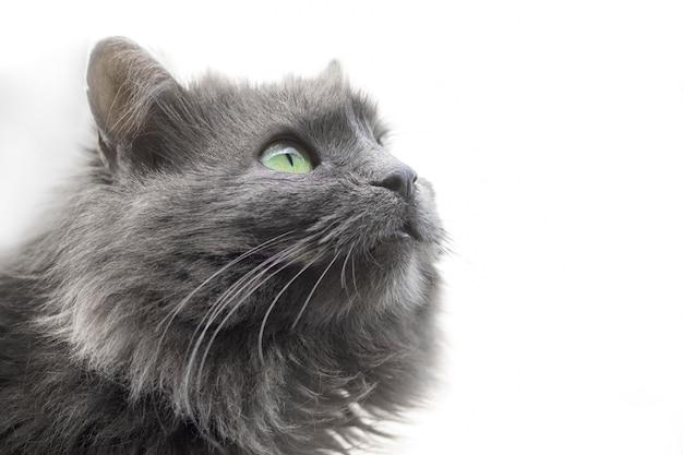 Grijze pluizige kat close-up met nieuwsgierigheid omhoog kijken