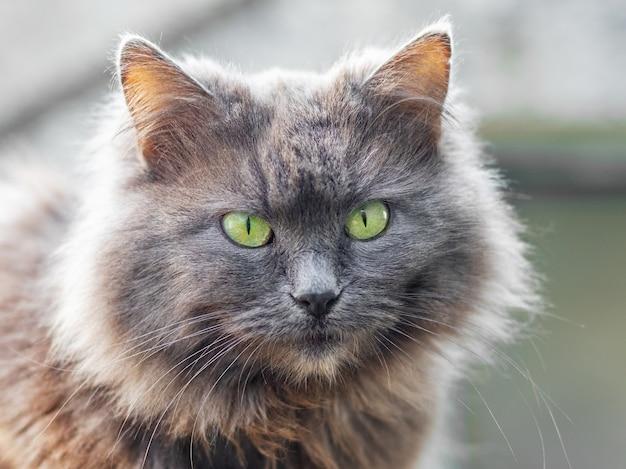 Grijze pluizige kat close-up op een lichte wazige achtergrond tegen de zon