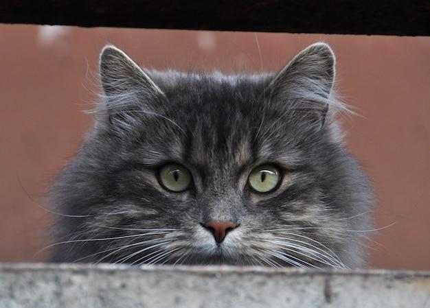Grijze pluizige kat zit op een loggia, balkon en kijkt naar het leven op straat