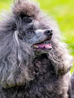 Grijze pluizige poedel met open mond en vriendelijke blik, portret van een grappige hond