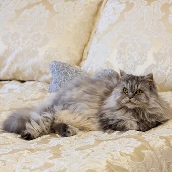 Grijze pluizige schotse hooglandkat met recht lang haar in een luxueus bed thuis.