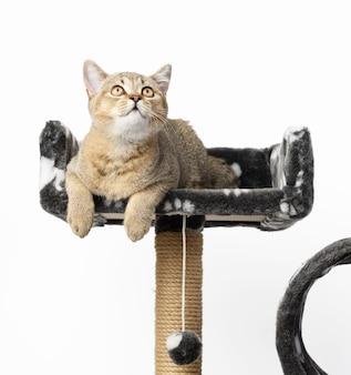 Grijze raszuivere kitten schotse rechte chinchilla ligt op een speelhuisje met meerdere niveaus, witte achtergrond