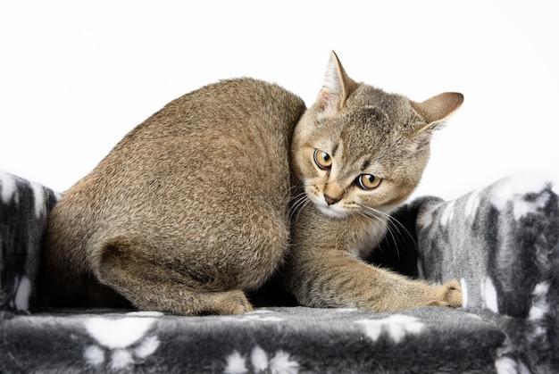 Grijze raszuivere kitten schotse rechte chinchilla ligt op een witte achtergrond, de kat rust