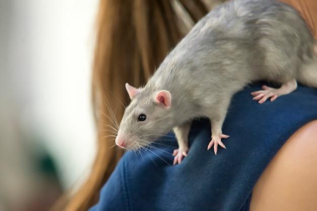 Grijze rat op de schouder van de mens