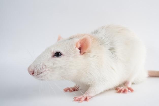 Grijze rat zit op een witte achtergrond.