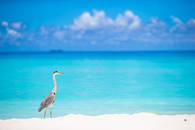 Grijze reiger die zich op wit strand op het eiland van de maldiven bevindt