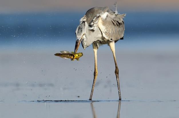 Grijze reiger met vissen in bek. ongewone reflectie op het water.