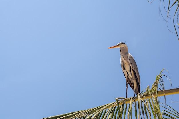 Grijze reiger op de palm tegen de blauwe hemel