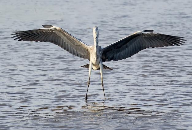 Grijze reiger staat in het water met wijd open vleugels