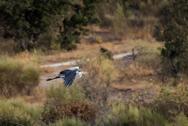 Grijze reiger vliegt over platteland