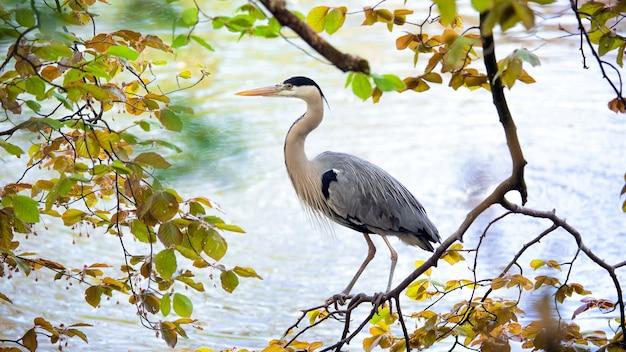 Grijze reigervogel op de boom