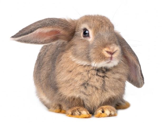 Grijze schattige jonge die konijnzitting op witte achtergrond wordt geïsoleerd.