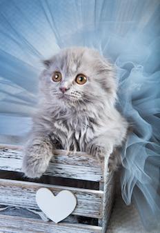 Grijze schotse vouwen highland fold kitten kat zit in een doos.