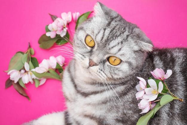 Grijze schotse vouwenkat met gele ogen en bloemen van appelboom