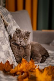 Grijze schotse vouwenkat, zittend op de bank