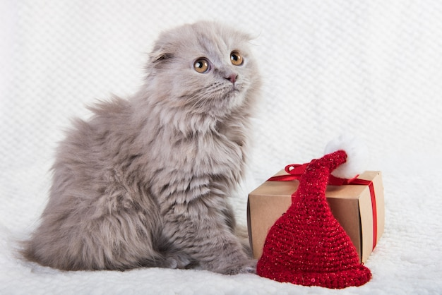Grijze scottish fold highland fold kitten kat met geschenkdoos.