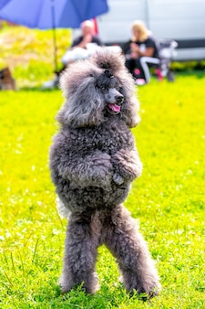 Grijze shaggy poedel staat op achterpoten in het park tijdens een wandeling, getrainde hond