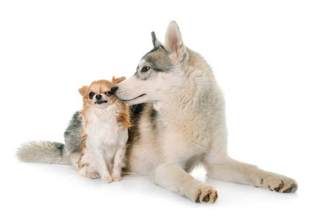 Grijze siberische husky en chihuahua
