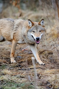 Grijze wilde wolf (canis lupus) in bos