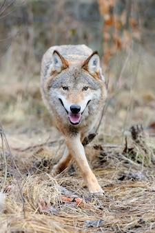 Grijze wilde wolf (wolfszweer canis) in bos