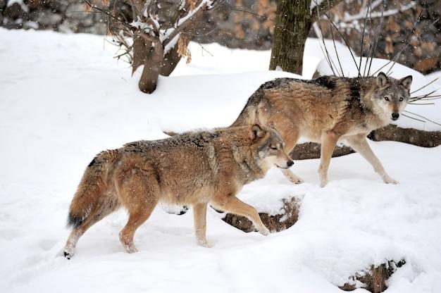 Grijze wolf (canis lupus) in de winter