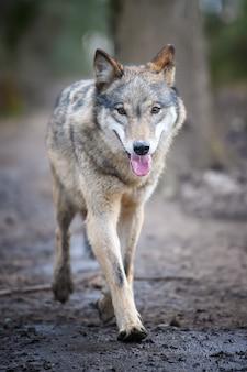 Grijze wolf, canis lupus, in het bos. wolf in de natuurhabitat. close-up van wilde dieren. europese natuur in het wild