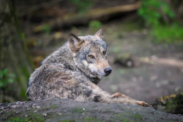 Grijze wolf, canis lupus, in het zomerlicht, in het bos