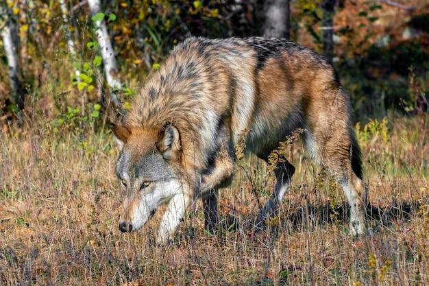Grijze wolf die door een weiland loopt
