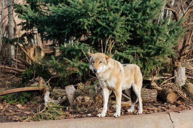 Grijze wolf in de dierentuin, wild dier