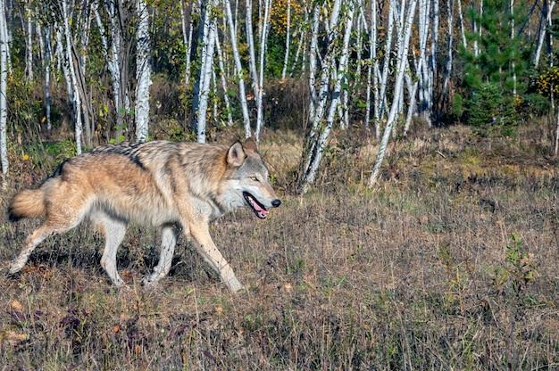 Grijze wolf loopt langs een berkenbos in de herfst