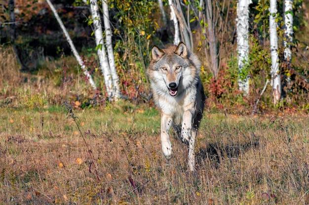 Grijze wolf loopt uit een berkenbos in de herfst