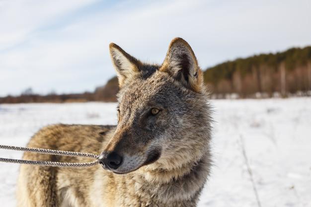 Grijze wolf op de achtergrond van een overweldigende blauwe hemel. winter warme zon en sneeuw