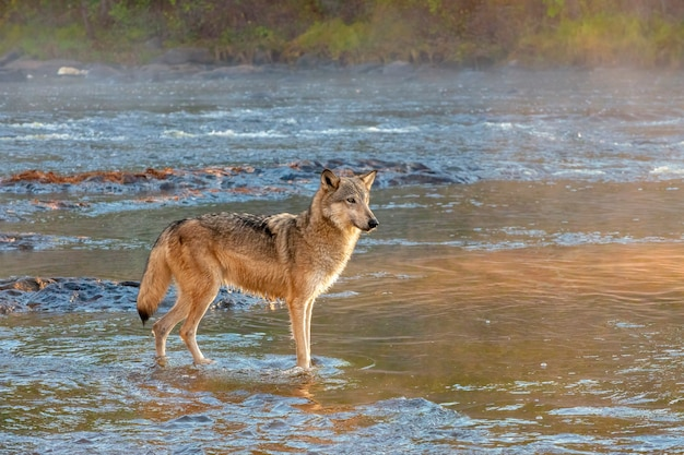 Grijze wolf staande in rivier in gouden ochtendlicht