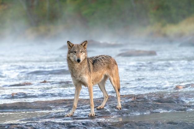 Grijze wolf steekt een misty river over bij dawn
