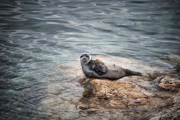 Grijze zeehond halichoerus grypus pup helgoland duitsland