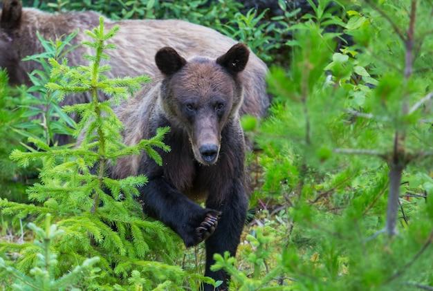 Grizzlybeer in het zomerseizoen
