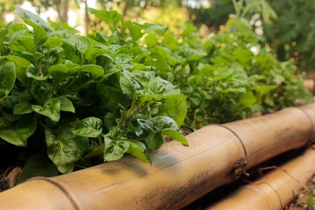 Groei groenten in bamboe percelen.