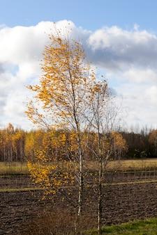 Groeien aan de rand van een geploegd veld en het planten van een jonge berkenboom met geel blad