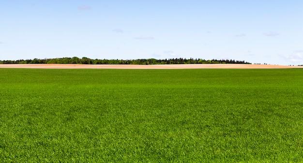 Groeien op het veld van groene granen en bos aan de horizon, een lentelandschap op landbouwgrond met een blauwe lucht