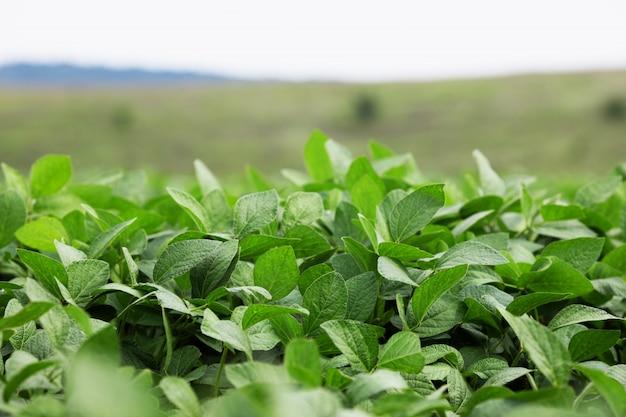 Groeiend groen sojaboonveld. peulvruchten. agrarische industrie.