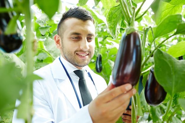 Groeiende aubergines