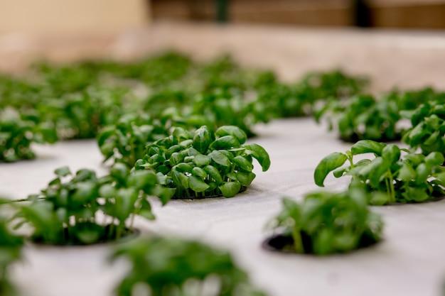 Groeiende basill en kruiden in hydrocultuur, zaaddozen gemaakt van steenwol. veganistisch en gezond eten concept. gekiemde zaden, microgreens.
